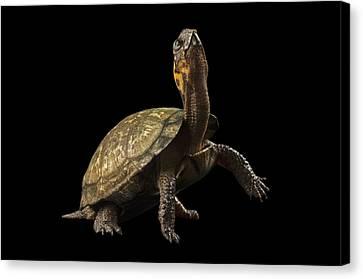 A Threatened Bog Turtle At Zoo Atlanta Canvas Print by Joel Sartore