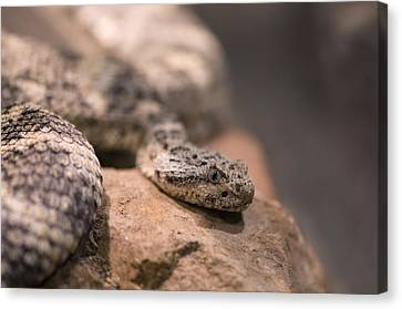 A Tiger Rattlesnake At The Henry Doorly Canvas Print by Joel Sartore