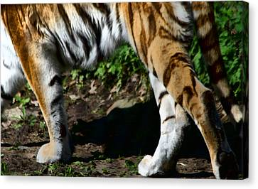 A Tigers Stride Canvas Print by Karol Livote