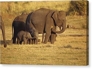 A Tiny Asian Elephant Calf Touches Canvas Print by Jason Edwards