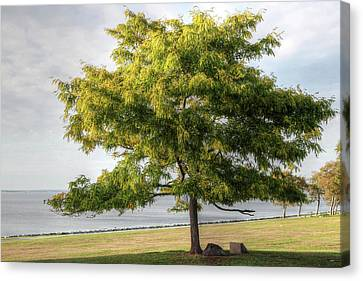 Canvas Print featuring the photograph A Tree In The Park Bristol Ri by Tom Prendergast