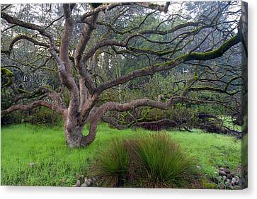 Canvas Print featuring the photograph A Tree In The Park  by Catherine Lau
