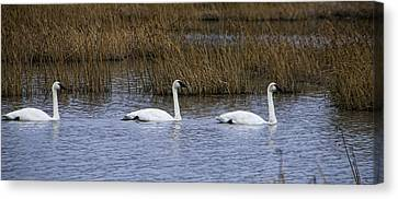 A Trio Of Swans Canvas Print