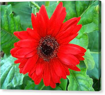 Canvas Print featuring the photograph A True Red by Sandi OReilly