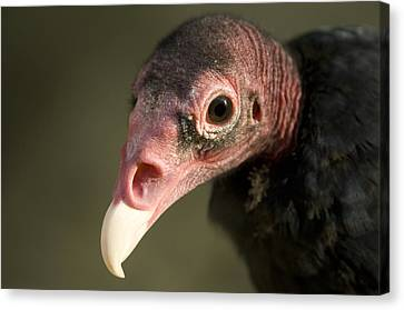Henry Doorly Zoo Canvas Print - A Turkey Vulture At The Henry Doorly by Joel Sartore