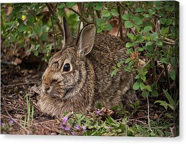 A Very Fine Bunny Resting Under The Lilac Bush Canvas Print by Karen Casey-Smith