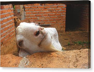 A Visit With A Smiling Goat Canvas Print by ARTography by Pamela Smale Williams