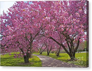 A Walk Down Cherry Blossom Lane Canvas Print by Cindy Lee Longhini