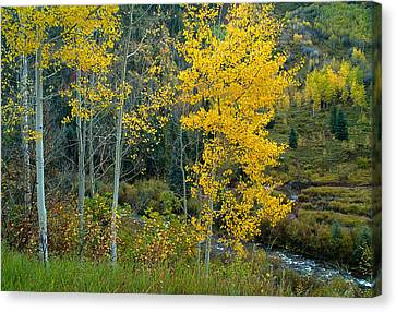 A Walk In The Aspen Forest Canvas Print by Tim Reaves
