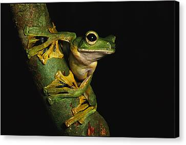 A Wallaces Flying Frog Canvas Print by Tim Laman
