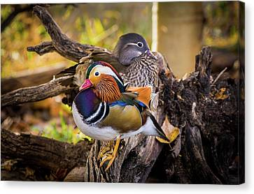 A Watchful Eye - Mandarin Ducks Canvas Print by TL Mair