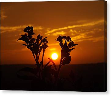 A Weed Sunset Canvas Print by Rebecca Cearley