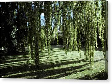 A Weeping Willow Casts Long, Cool Canvas Print by Jason Edwards