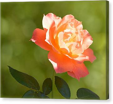 Canvas Print featuring the photograph A Well Lighted Rose by AJ Schibig