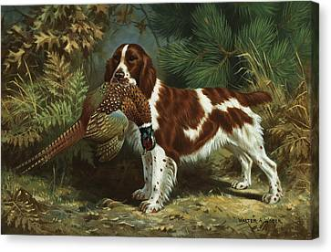A Welsh Springer Spaniel Holds A Dead Canvas Print by Walter A. Weber