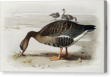 A White Fronted Goose Canvas Print by Archibald Thorburn