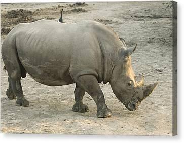 A White Rhino At The Omaha Zoo Canvas Print