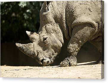 A White Rhino Sniffs The Dust Canvas Print