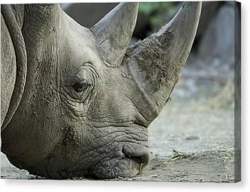 A White Rhino Sniffs The Muddy Ground Canvas Print by Joel Sartore