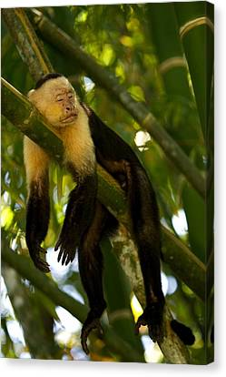A White-throated Capuchin Monkey Canvas Print by Roy Toft