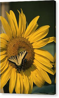 A Yellow Swallowtail Canvas Print by Taylor S. Kennedy