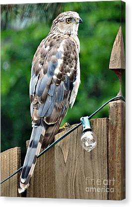 A Young Coopers Hawk  Canvas Print