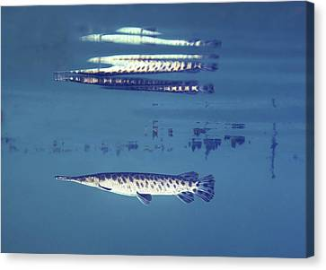 A Young Florida Gar Image Reflects Canvas Print by Terry Moore
