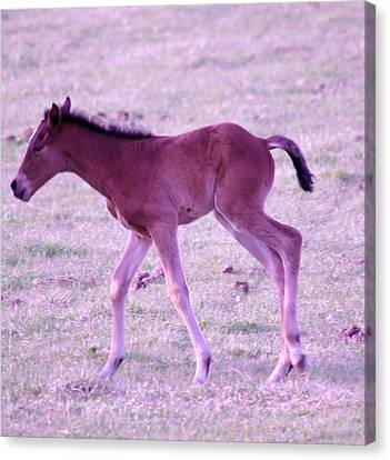 A Young Spring Colt  Canvas Print by Jeff Swan