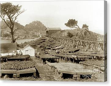 Whalers Cove Canvas Print - Abalone Drying Racks On Coal Chute Point Sept 19, 1905 by California Views Mr Pat Hathaway Archives