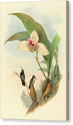 Abeille's Hummingbird Canvas Print by John Gould
