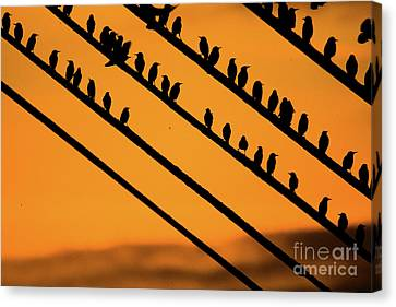 Risk Society Canvas Print - Aberystwyth Starlings At Dusk by Keith Morris
