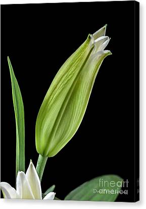 Canvas Print featuring the photograph White Oriental Lily About To Bloom by David Perry Lawrence