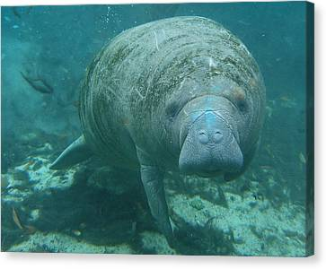 About To Meet A Manatee Canvas Print by Kimberly Mohlenhoff
