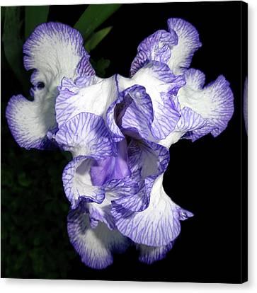 Above A Purple Edged Iris Canvas Print by Tara Hutton