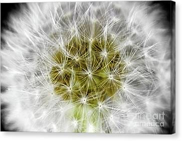 Abstract Nature Dandelion Floral Maro White And Yellow A1 Canvas Print