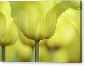 Canvas Print featuring the photograph Abstract Yellow Tulips Flowers Photography Online Art Print Shop by Artecco Fine Art Photography