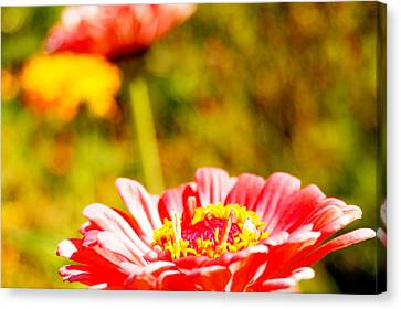 Abstract Zinnia Canvas Print by Beth Collins
