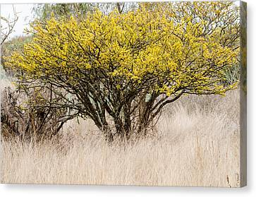 Acacia Tree In Bloom In The Wild. Canvas Print by Rob Huntley