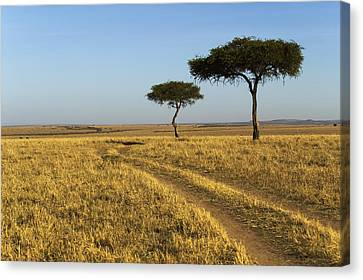Acacia Trees In The Maasai Mara Canvas Print by Nigel Hicks
