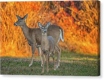 Acadia Deer Canvas Print