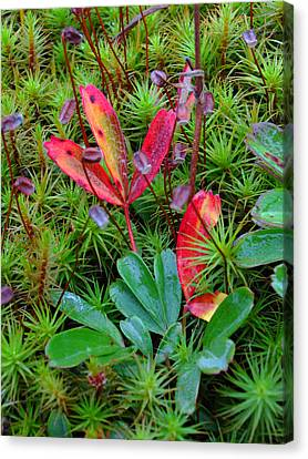 Acadia Np Moss Canvas Print by Juergen Roth