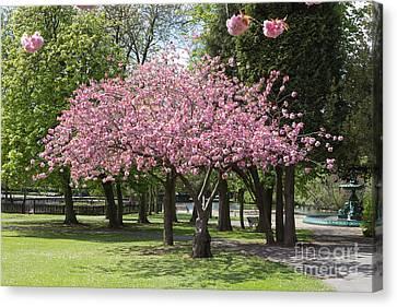 Accolade Cherry Tree Canvas Print