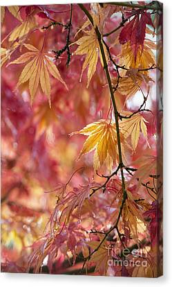 Acer Palmatum Elegans Canvas Print by Tim Gainey