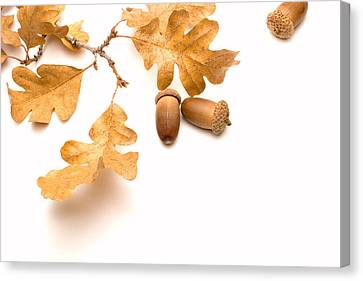 Acorns And Oak Leaves Canvas Print by Utah Images
