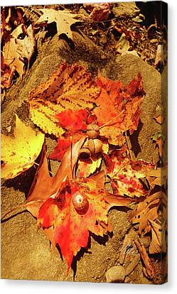 Canvas Print featuring the photograph Acorns Fall Maple Leaf by Meta Gatschenberger