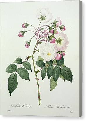 Adelia Aurelianensis Canvas Print by Pierre Joseph Redoute