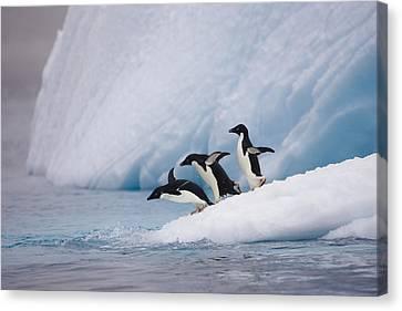 Adelie Penguin Trio Diving Canvas Print by Suzi Eszterhas