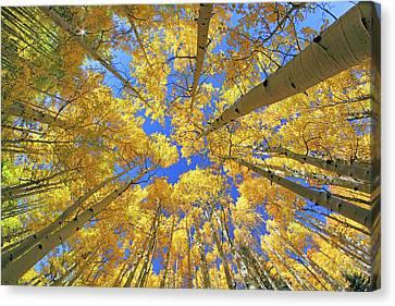 Canvas Print featuring the photograph Admiring Aspens - Colorado - Autumn by Jason Politte