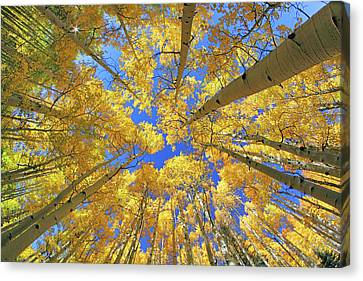 Admiring Aspens - Colorado - Autumn Canvas Print