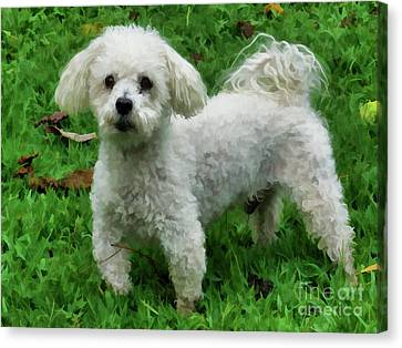 Adorable Bichon  Canvas Print